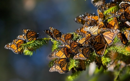 Monarch butterfiles