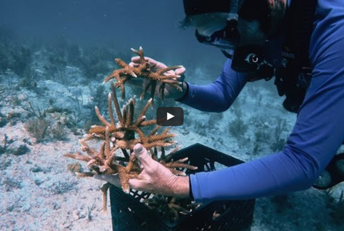 Great Big Story video about creating coral gardens